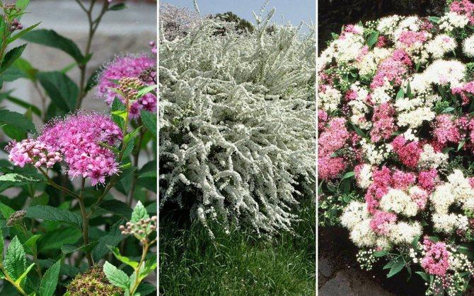 Цветущие кусты спиреи