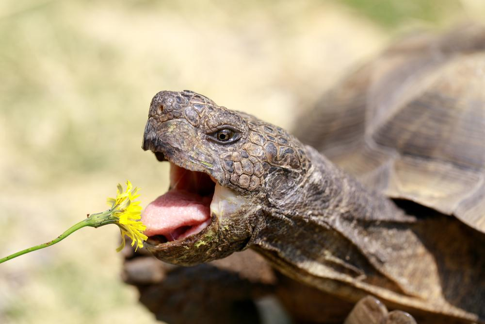 How to Feed a Tortoise: The Guide to Tortoise Diet, Food & Nutritional  Needs | Tortoise Owner