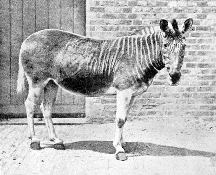 File:Quagga in enclosure.jpg