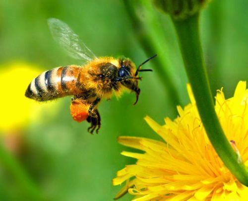 Αποτέλεσμα εικόνας για μελισσες εξαφανιση αινσταιν