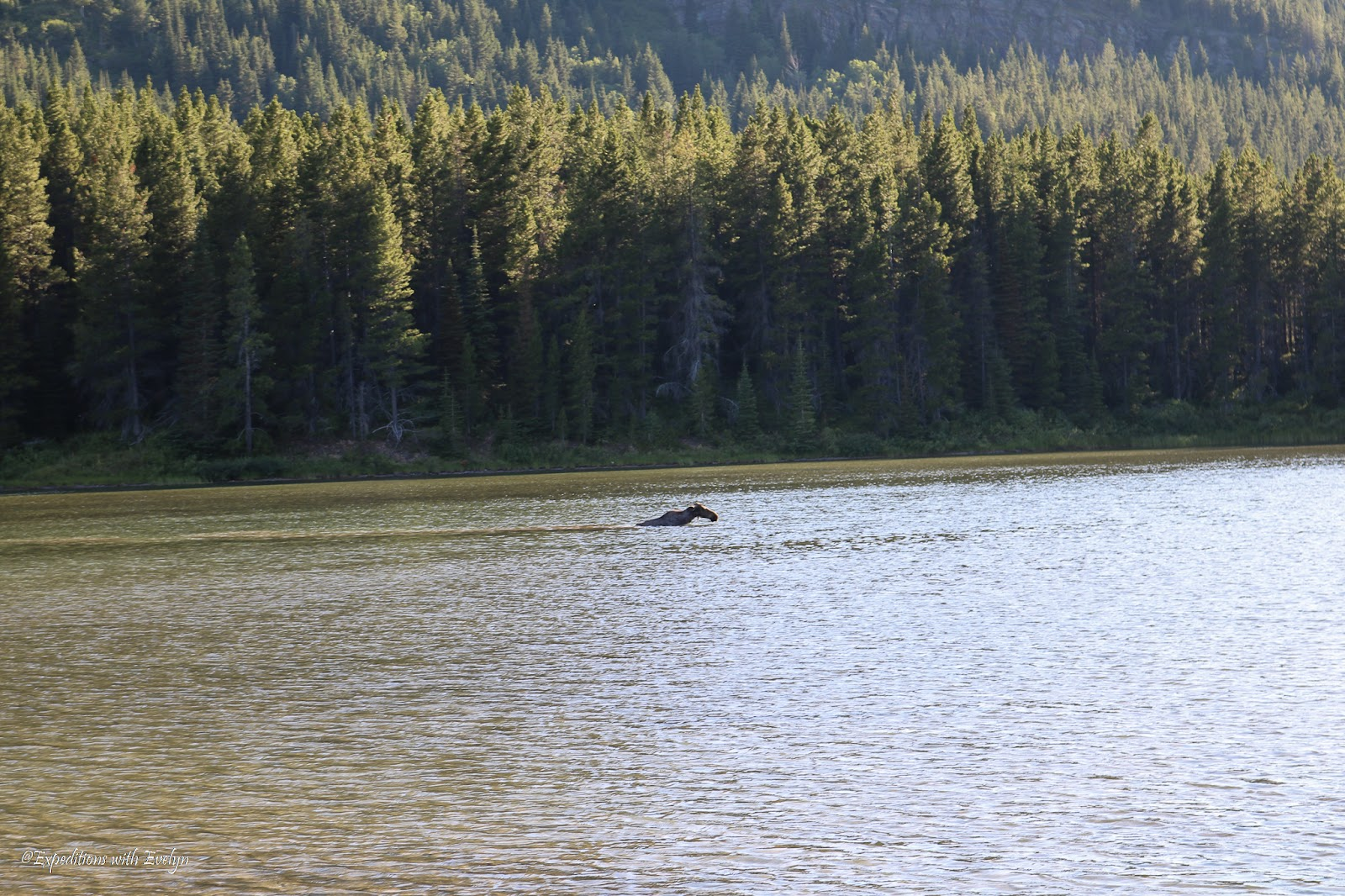 A moose swims in a green lake with pine trees in the background.