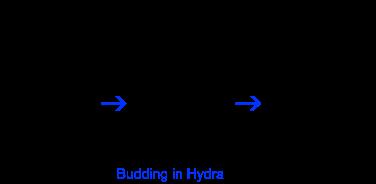 budding in hydra