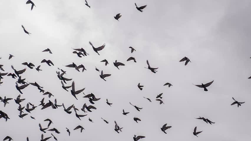 Large Flock of Birds. a Stock Footage Video (100% Royalty-free ...