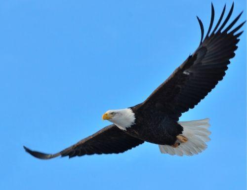Photo d'un aigle qui est haut dans le ciel et plane. Prendre de la hauteur.