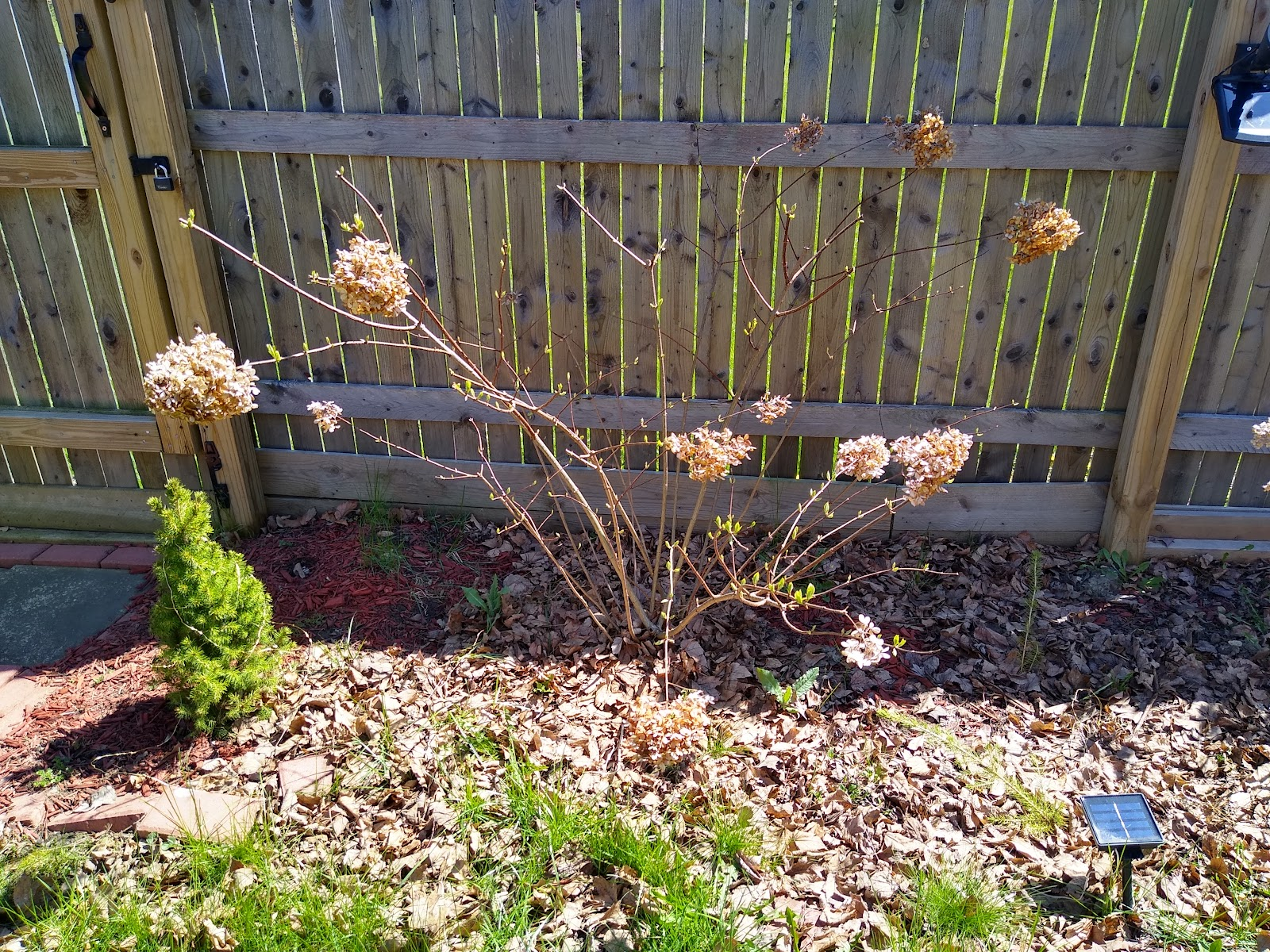 before hydrangea pruning picture