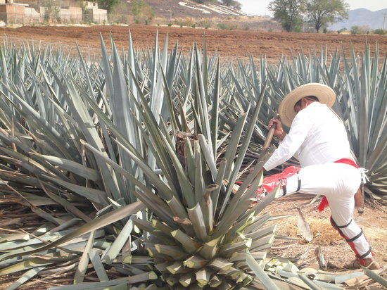 El-Lllano-Tequila-Distillery-and-Best-Tequila-Brands
