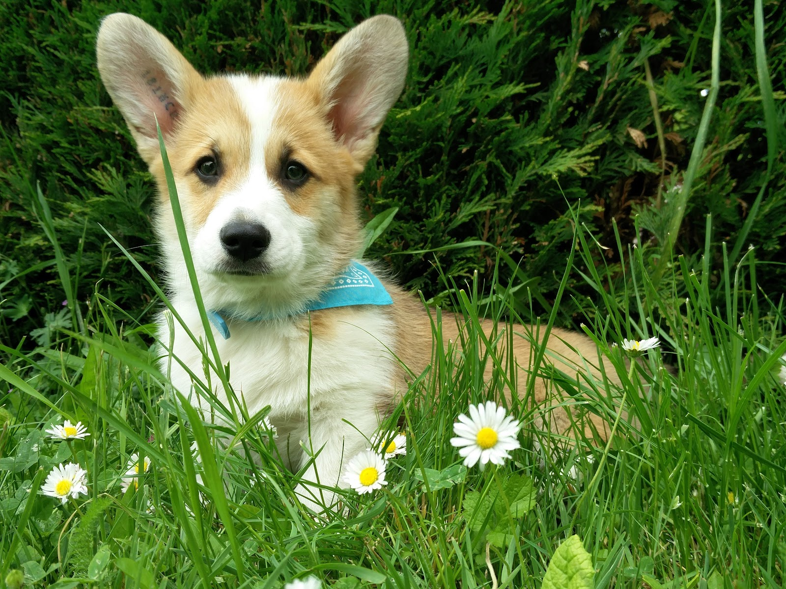 3 month old Corgi puppy