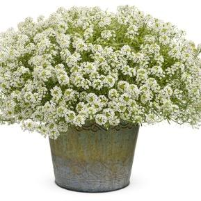 Image result for lobularia frosty knight