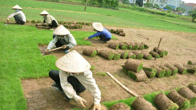 Một số lưu ý khi trồng cỏ nhung nhật tại Long An