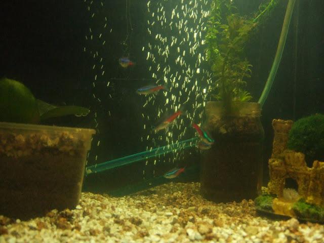 Mes aquariums, leur histoire et leur évolution... 60L et 25L Neons