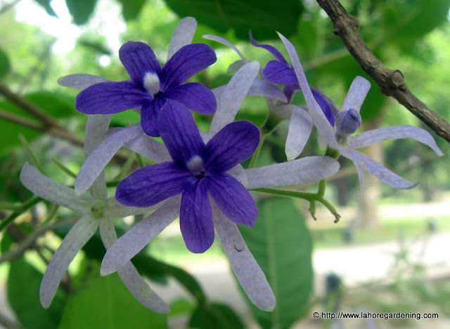 petrea volubilis purple wreath sandpaper vine flower
