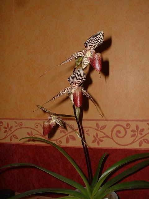 Paphiopedilum rothschildianum 'Mivac'