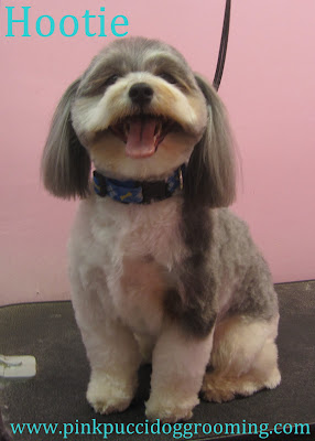Fantastic Shih Poo Haircut Stylesquot