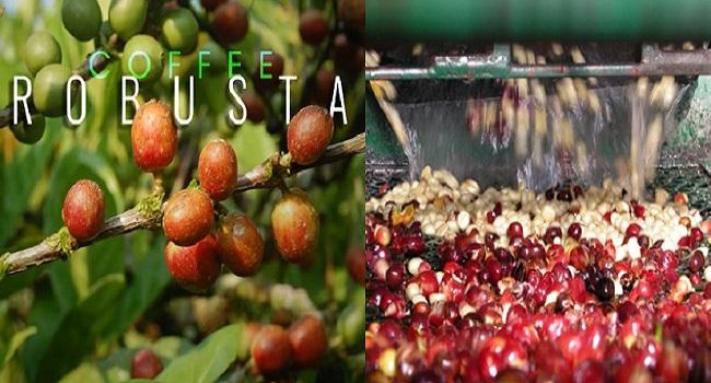 Cách chế biến cà phê ướt là một trong 2 cách chế biến hạt cà phê xanh trên thế giới