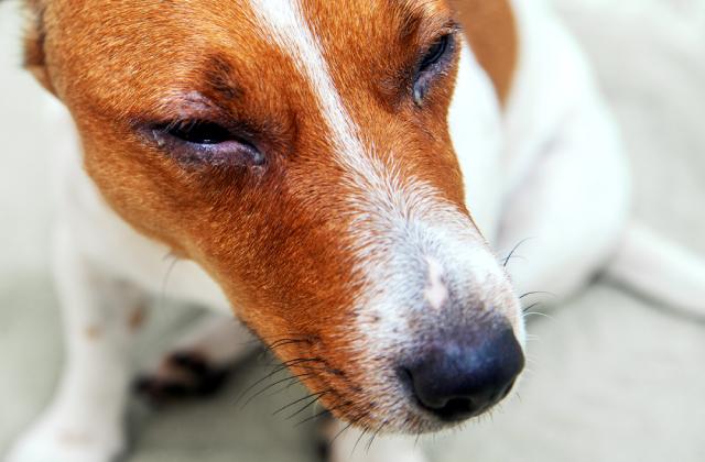 Chảy nước mắt liên tục là một trong những bệnh về mắt của chó