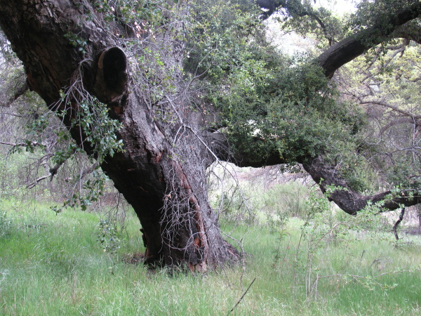 The twists and turns of another oak.