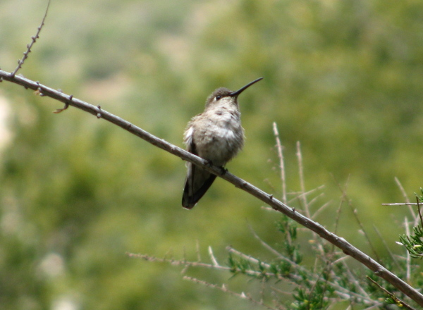 hummingbird on a branch, not much bright color