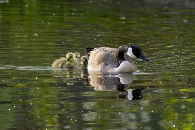 Mother Goose and Goslings