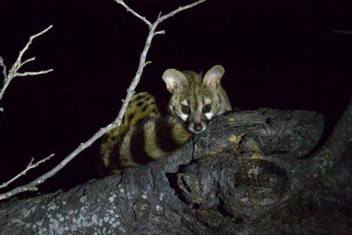 Animais da África do Sul - Pequeno animal com cara de raposa e longo rabo listrado no galho de uma árvore durante a noite.