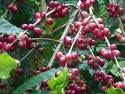 If you thought you knew every antioxidant there was.meet the coffee cherry!
