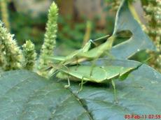 usaha pembajakan perkawinan belalang hijau 6
