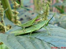 usaha pembajakan perkawinan belalang hijau 7