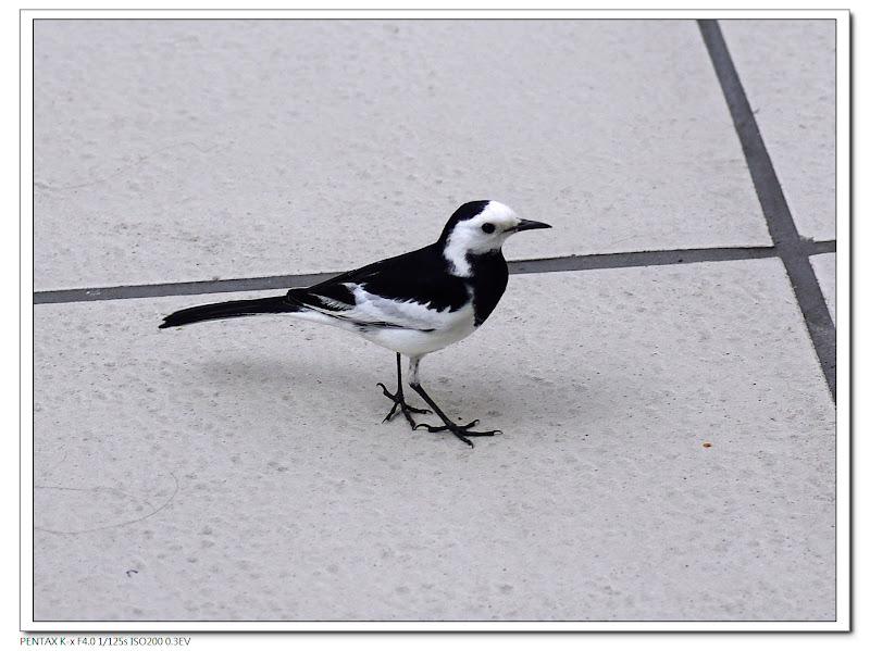 高鐵站內也有鳥可以拍~~