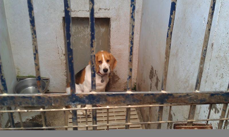 LOLA, beagle femelle 6 ans - LPA Lille (59) IMAG0158