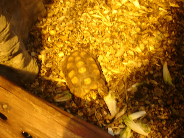 Żółw brazylijski