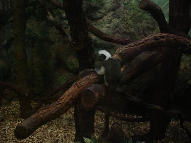 Młoda tamaryna białoczuba