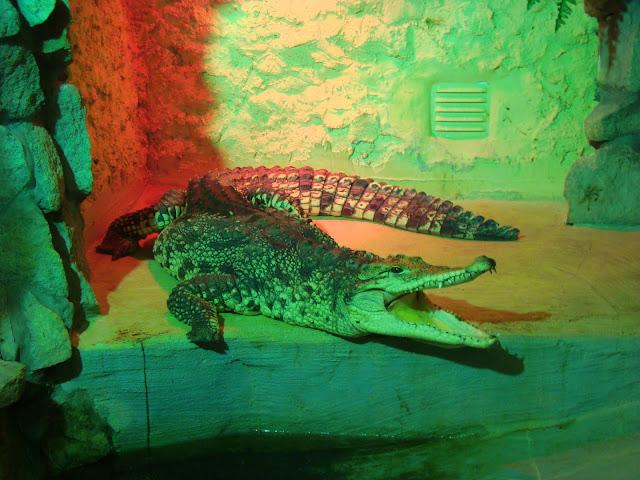 Krokodyl kubanski z lewego wybiegu