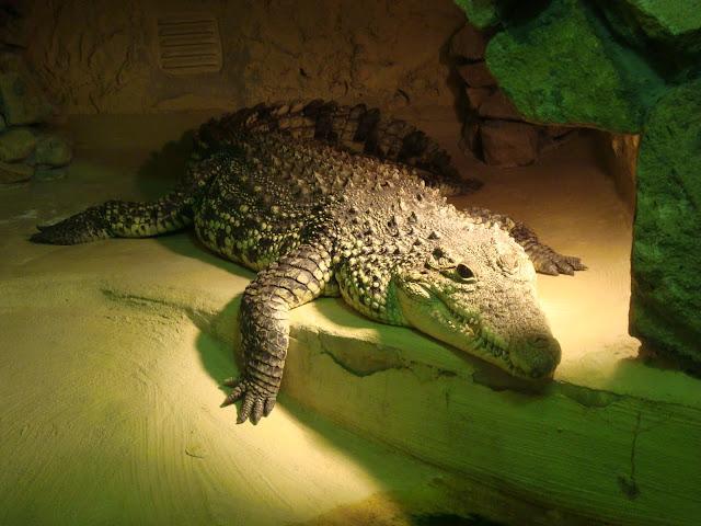 Krokodyl z prawego wybiegu - sobota rano