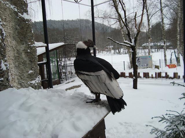 Wnętrze woliery kondorów