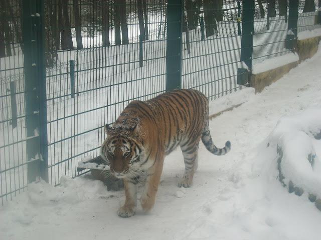 Tygrys śnieżny
