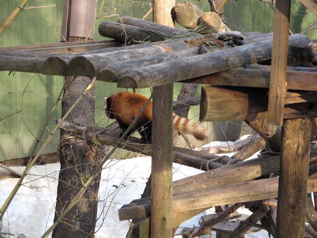 Panda mała nieskora do harców