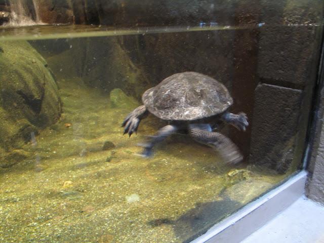 Żółw bokoszyjny