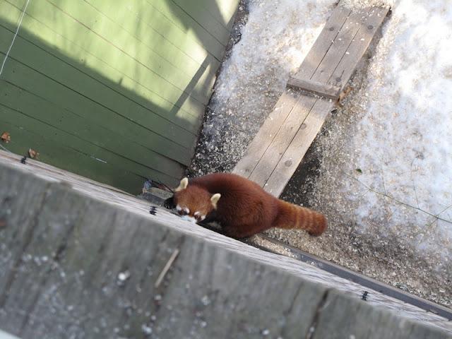 Panda mała... wdrapuje się na ścianę?