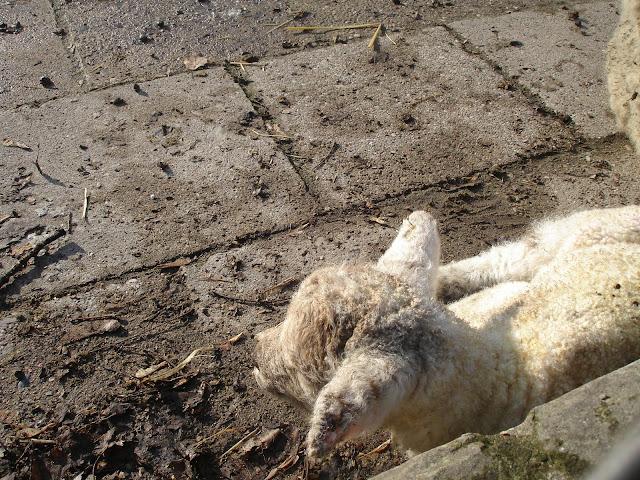 Młoda owca