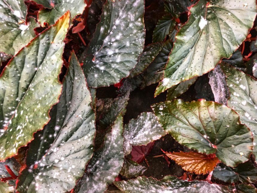 Plantbyrån, att välja en växt, begonior med mjöldagg