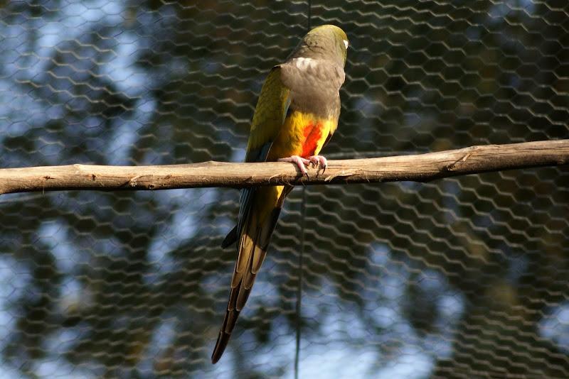 Papagaio do Monte Selvagem