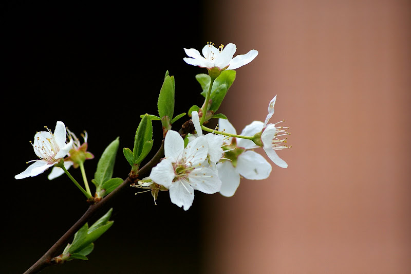 Flor de macieira