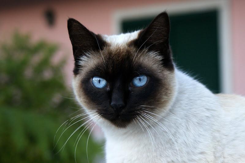 O gato de olhos azuis
