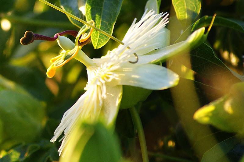 Flor da Paixão, flor de maracujá