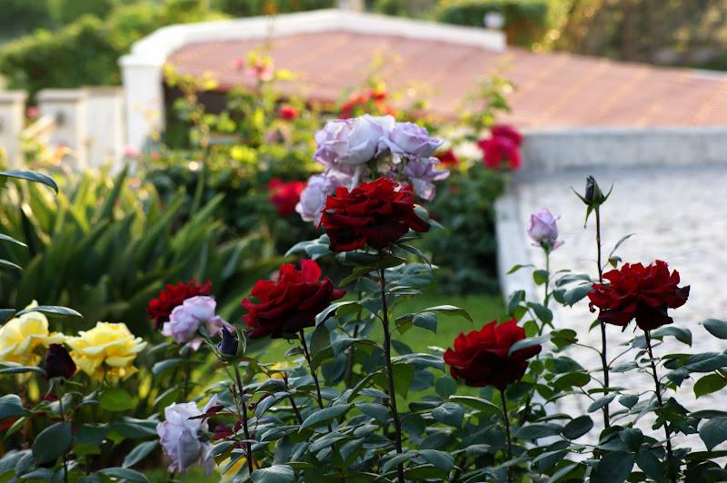Por aí pelos quintais, Rosas