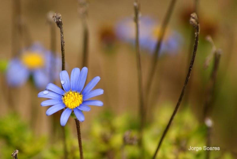 Pequena margarida azul