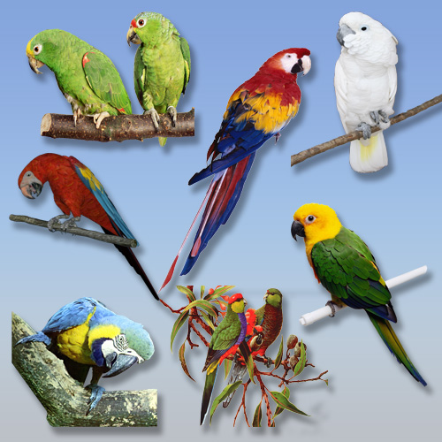 Клипарт PNG - Попугаи