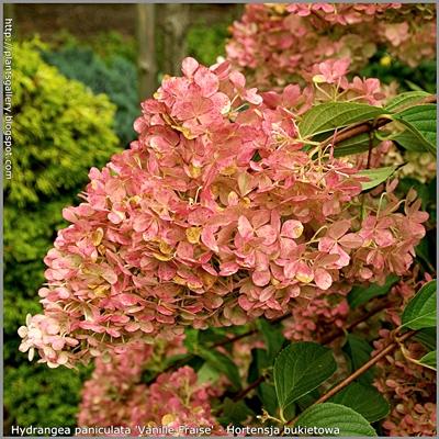 Hydrangea paniculata 'Vanille Fraise' - Hortensja bukietowa