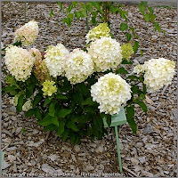 Hydrangea paniculata 'Silver Dollar' - Hortensja bukietowa