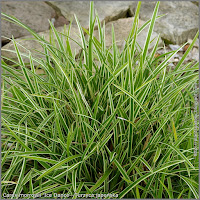 Carex morrowii 'Ice Dance' -Turzyca japońska 'Ice Dance'