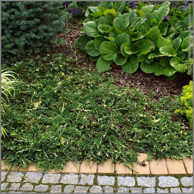 Juniperus horizontalis 'Villa Marie' - Jałowiec płożący 'Villa Marie'